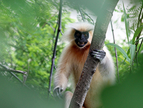 Bhutan tour - Golden Langur