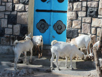 Goats, Hargeisa